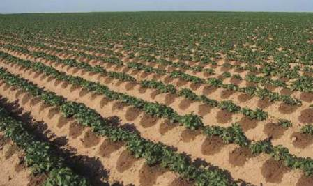 Israeli drip-irrigation technique